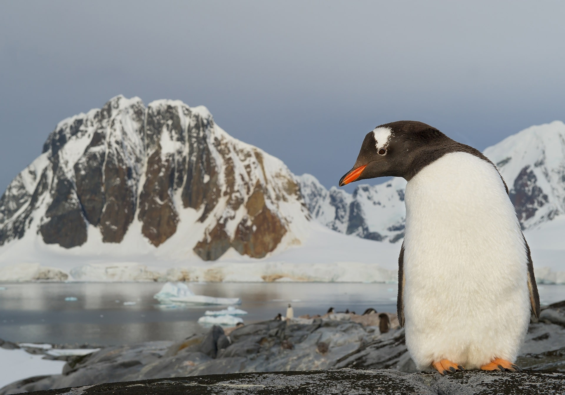 Antarctic Peninsula Penguin